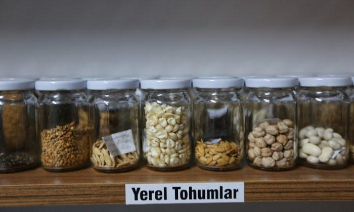 Muğla'nın Yerel Tohumlarına ulaşmak artık daha kolay