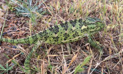 Sokakta bulunan bukalemun ve yılan doğaya bırakıldı