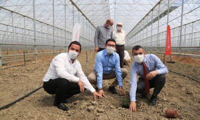 Milas'ta muz üretimi için fidanlar toprakla buluşturuldu