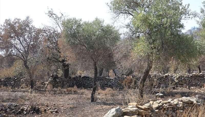 Bodrum ve Milas'ta üreticiler yangınlar nedeniyle zeytinliklerinin zarar görmesinin üzüntüsünü yaşıyor
